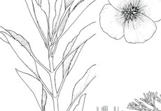HERBAL Guide to Stress & Anxiety relief : Remedies and Plant info.